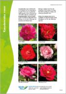 kanadensiska-rosor