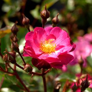 Rosa-'Daydream'-200708020606--BA