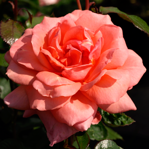 Rosa-E.E
