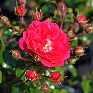 Rosa--E.E