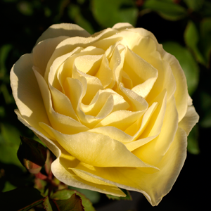 Rosa-E