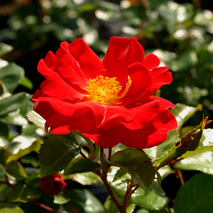 Rosa-'Golden-Eye'--200708020511--BA