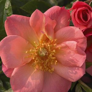 Rosa-(Mod.-Buskros-Gr