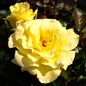 Rosa-'Yellow-Submarine'-0708020516--BA