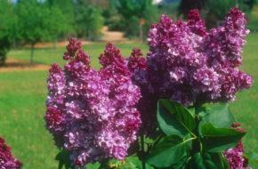 Syringa vulgaris 'Prince Wolkonsky'
