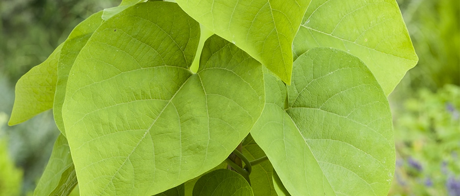 Aristolochia manshurensis E 14292611RGB_A4 940x400