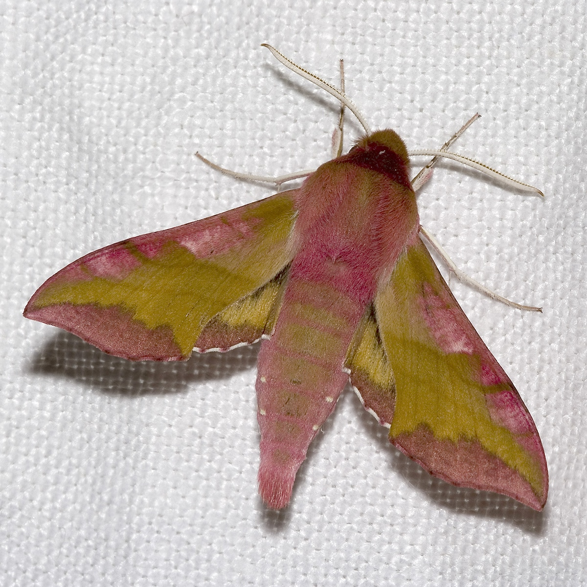 Deilephila.porcellus.7514